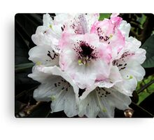 White and Pink Rhododendron Canvas Print