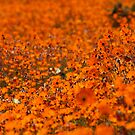 Namaqualand daisy profusion! Kammieskroon, South Africa by Fineli