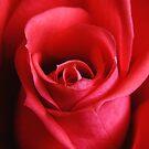 Rose by davidrhscott