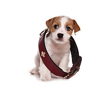 Jack Russell Terrier puppy and a large collar Photographic Print
