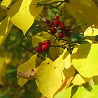 Autumn Berries 2 by Matt Ravick