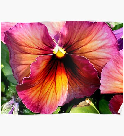 Dark Colored Pansy Poster
