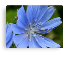 Chickory Canvas Print