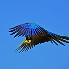 ~Blue Macaw: On the Wing~ by a~m .