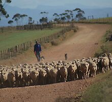 Moving the sheep by Ted Widen
