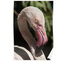 pink flamingo Phoenicopterus ruber roseus Poster