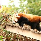 Red Panda by redscorpion
