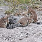 Ground Squirrels, Central Kalahari Game Reserve, Botswana, Africa by Adrian Paul