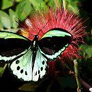 Cairns Birdwing by Jenny Dean