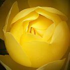 Soft Yellow Rose by Maureen Clark
