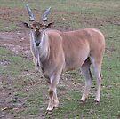 Male Eland Oryx by Ginny York