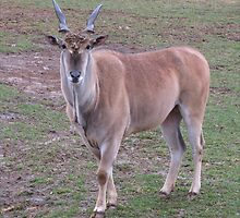 Male Eland Oryx by Ginny York
