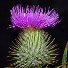 Thistle by Kerry  Hill