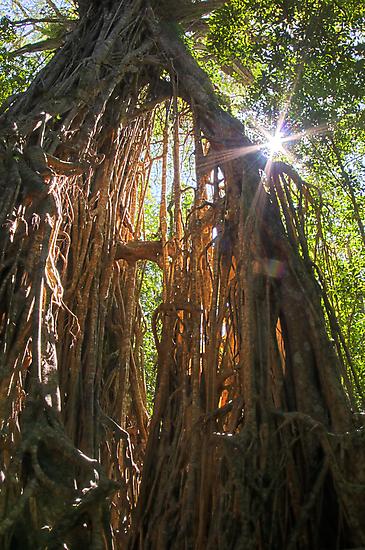 Sunlight through the Fig - Far North Queensland by Karen Willshaw