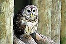 Barred Owl by AuntDot