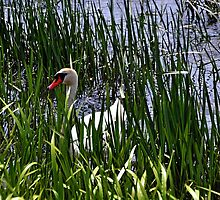A Male Swan in River grasses by lynn carter