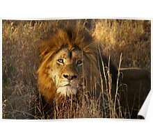 Game Drive Lion Poster