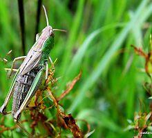 Tettigonia viridissima,  Grote groene sabelsprinkhaan by alaskaman53