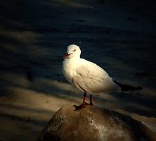 Gull on a rock by Ray Woledge