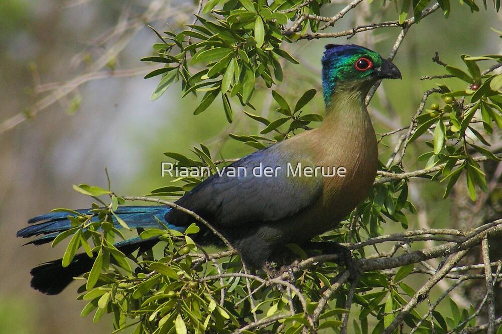 Purple crested Tauraco by Riaan van der Merwe