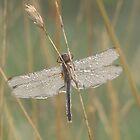 Dragonfly by cherylsnake