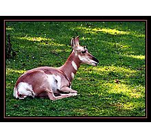 PRONGHORN ANTELOPE Photographic Print