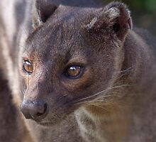 Red Bubble's First Fossa Foto? by Krys Bailey