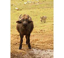 Buffalo Calf with Warthog behind Photographic Print