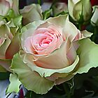 Smudged Continental roses by Patriciakb
