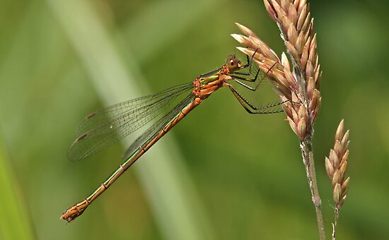 Common Spreadwing by Robert Abraham