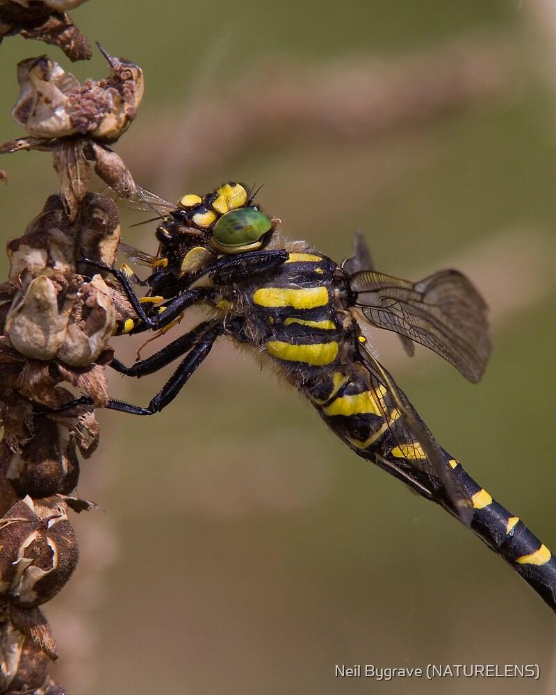 Female Golden-ringed Dragonfly Eating Wasp by Neil Bygrave (NATURELENS)
