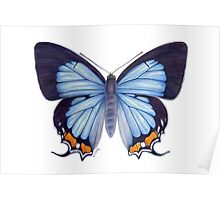 Imperial Blue Butterfly Poster