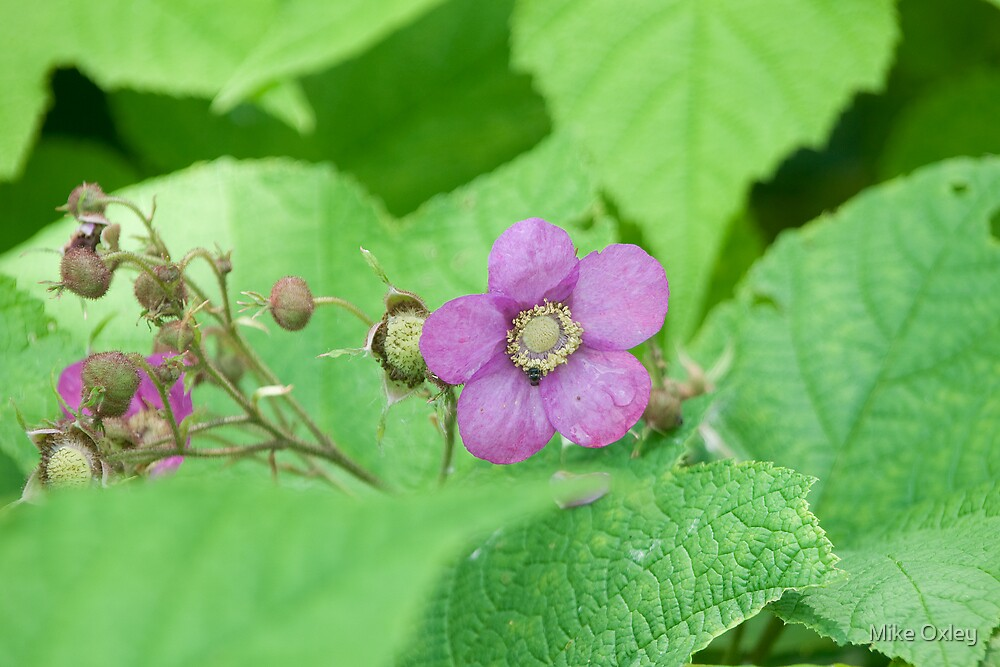 Purple-Flowering Rasberry (Rubus odoratus) by Mike Oxley