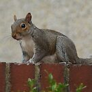 Squirrel Looking 3 by davesphotographics