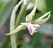 Dendrobium Striolatum by Floralynne