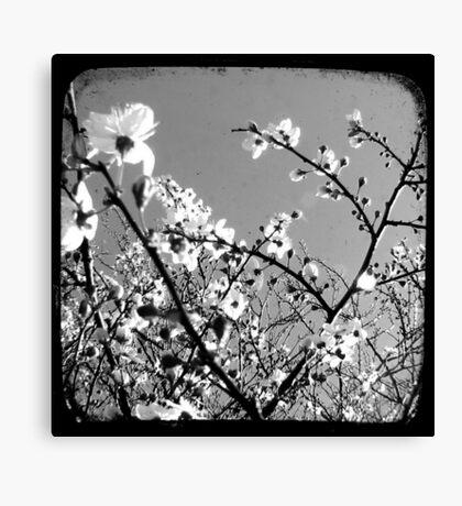 Plum Blossoms Through The Viewfinder (TTV) Canvas Print