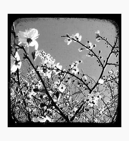 Plum Blossoms Through The Viewfinder (TTV) Photographic Print