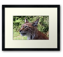 Young Lynx Framed Print