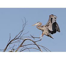 The Landing of the Great Blue Heron Photographic Print