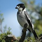 Grey Butcher Bird by Trevor Needham