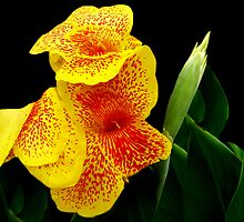 Canna Lily by imagevixen1