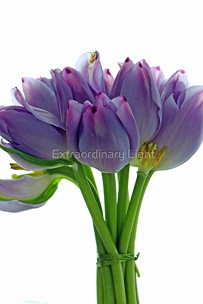 Lavender Tulips by Renee Hubbard Fine Art Photography