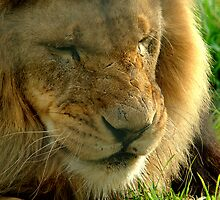 Lion at Melbourne Zoo VIII by Tom Newman