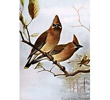 Cedar Waxwings Photographic Print
