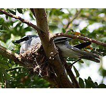 Cuckoo Shrike Photographic Print