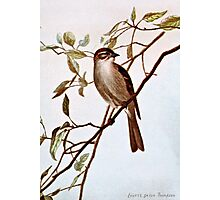 Chipping Sparrow Perching Photographic Print
