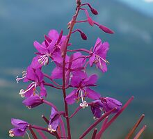 Fireweed by RolandArnold