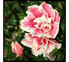 Rosa e Bianco Photographic Print