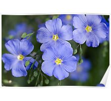 Blue Flax Poster