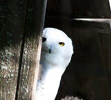 Snowy Owl Peek a Boo by Chuck Zacharias